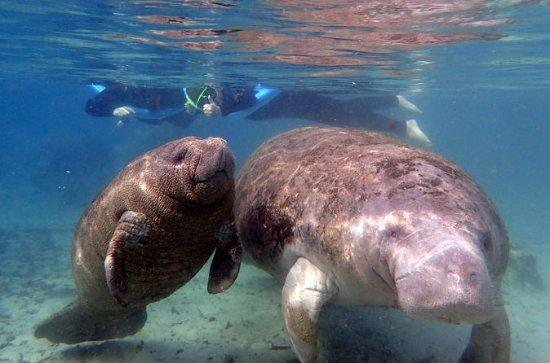 クリスタルリバーマナティー泳ぎ