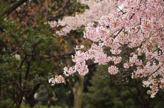 Special Night Cherry Blossom Day Tour