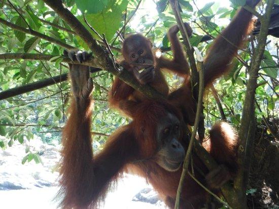 Sumatra Paradise Day Tours: Orangutan mum and baby