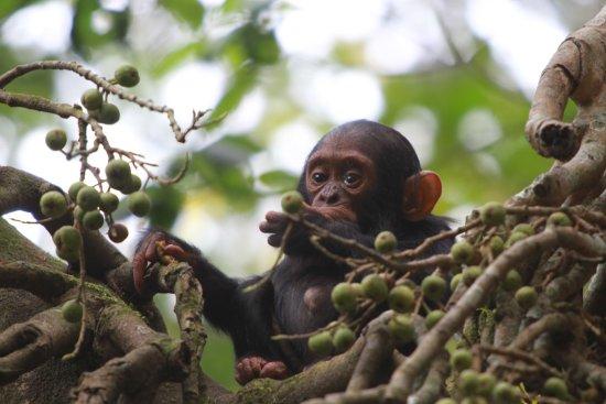 Kibale National Park, Uganda: maluda
