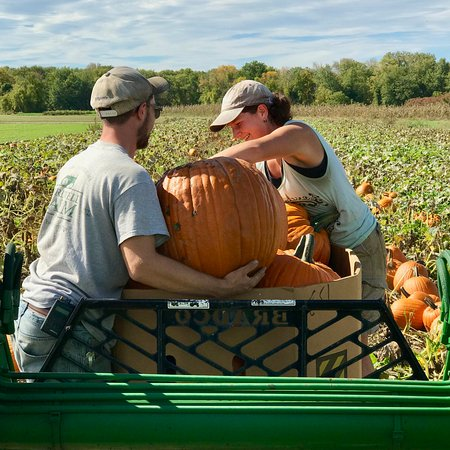 Hatfield, MA: Picking pumpkins!