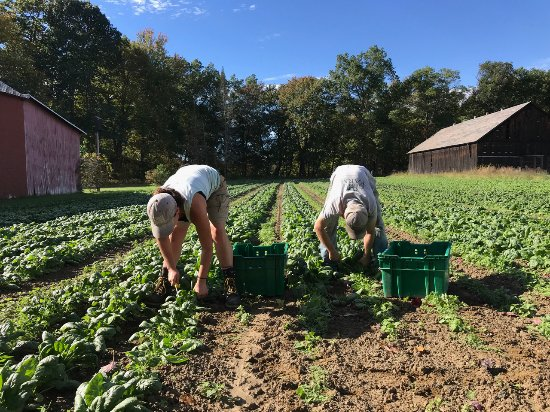 Hatfield, MA: Picking spinach!