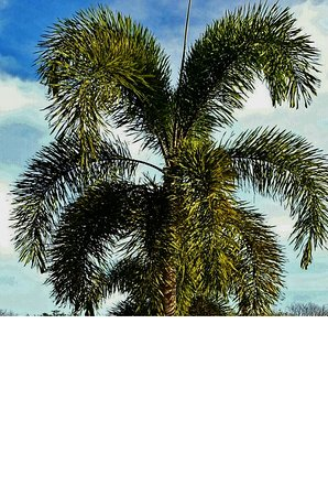 Kinchil, Мексика: Palm tree on grounds.