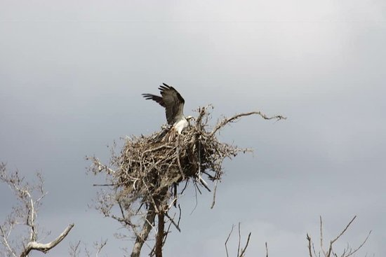 ‪‪Walland‬, ‪Tennessee‬: Osprey on the nest in the Everglades‬