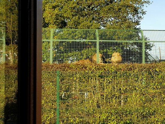 Smarden, UK: View from our kitchen - Lion enclosure