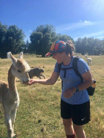 Фейерли, Новая Зеландия: This is me feeding an alpaca!