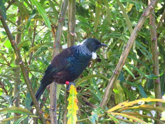 Pukaha Mount Bruce National Wildlife Centre: Tui.