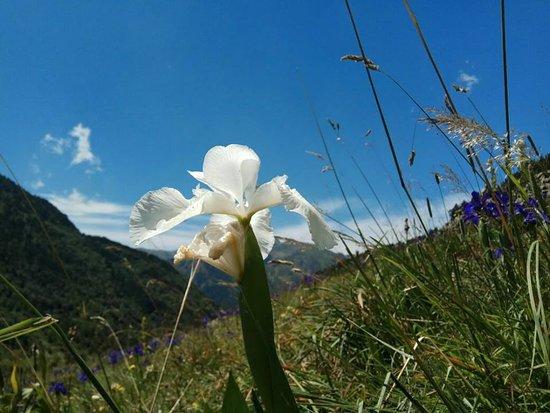 El Serrat, Andorra: Un iris blanc rare et interdit de ceuillir comme toutes les fleurs de cet endroit