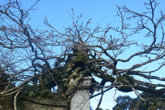 St Austell, UK: very old wisteria
