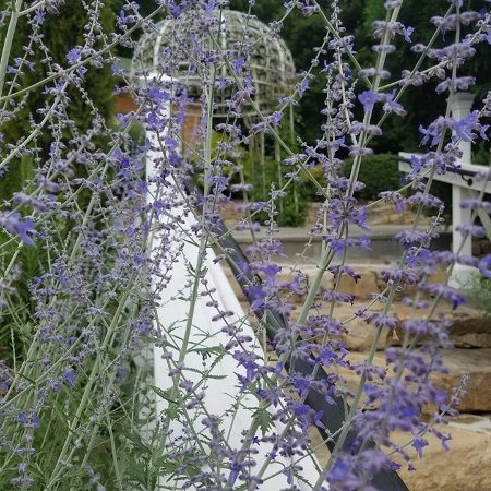 Lovettsville, VA: Russian Sage during summer along with Gazebo
