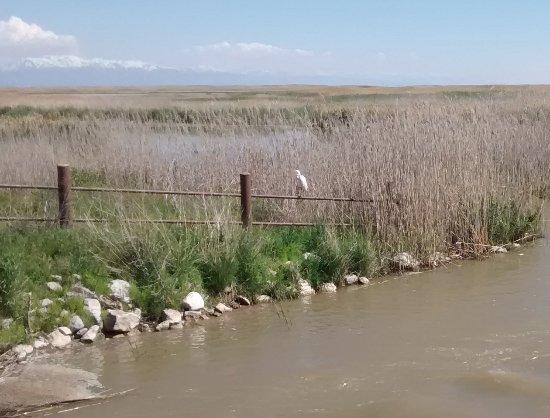 Brigham City, UT: White Egret