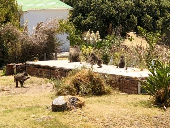 Black Marlin : visit from Baboons