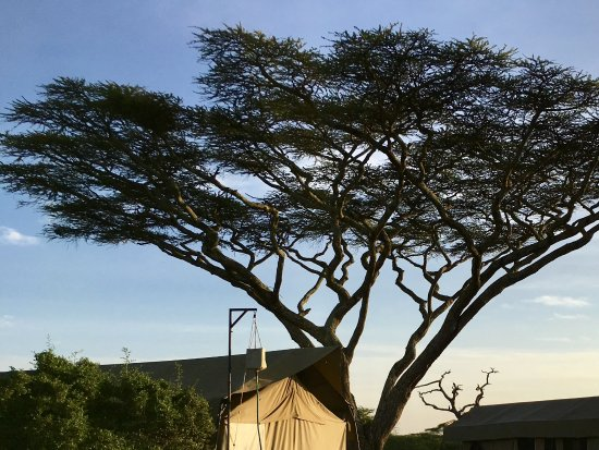 Olakira Camp, Asilia Africa: These trees are a symbol of this area and phot shows the tents.