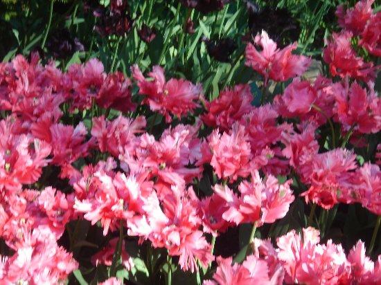 Keukenhof: тюльпаны