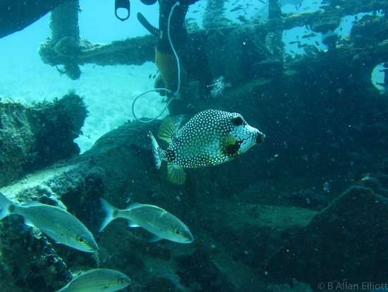 Discover St Kitts Tour (Reconfirm 48 hours): Cowfish wreck resident.