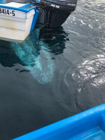 Puerto San Carlos, المكسيك: Gray whale under the boats.