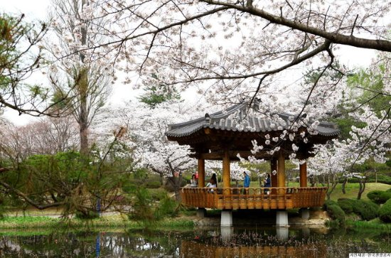 Full day Gyeongju Cherry Blossom Festival Tour