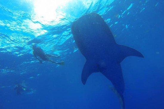 Rencontre de requins-baleines : Whale Shark Encounter