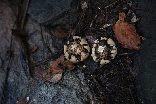 Shakawe, Botswana: Rock fungus normally found during rainy season.