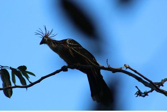 Iquitos, Peru: Hoatzin