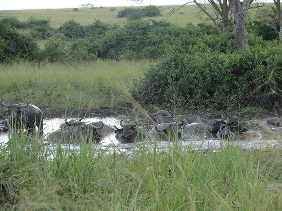 Kampala, Uganda: Buffaloes in Queen Elizabeth National Park, Uganda