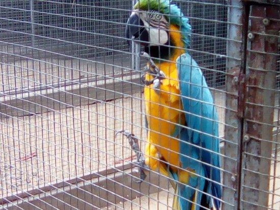 Robertson, Sydafrika: blue mackaw