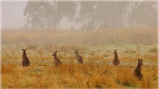 Eastern grey kangaroos in Australia's Kosciuszko National Park