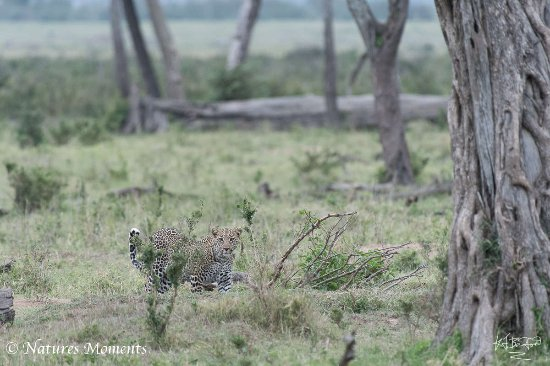 Mara Triangle: Loepard