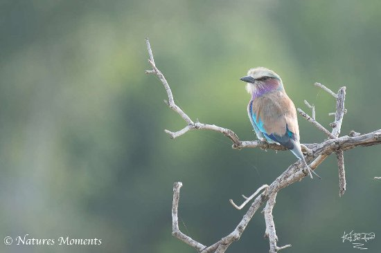 Mara Triangle: Lilac breasted roller