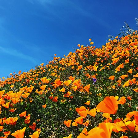 Chino Hills State Park: The flowers are beautiful.