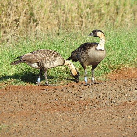 Kilauea, Гавайи: Hawaiian geese - Nenes