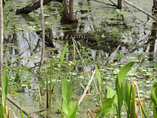 Lake Panasoffkee, FL: Baby Gator