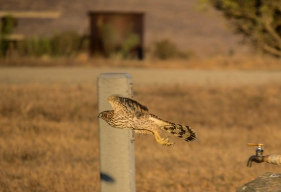 San Simeon State Park: A hawk flying off of our water spigot.