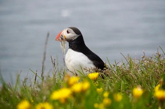 Latrabjarg, Islandia: Lovely puffin