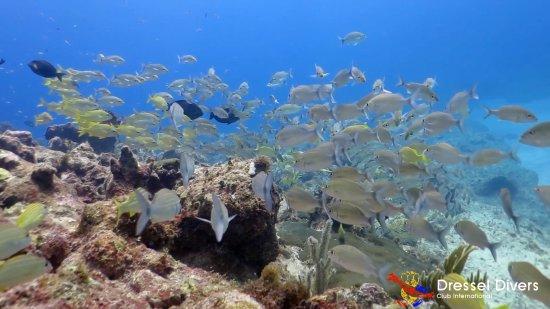 Dressel Divers: School of fish