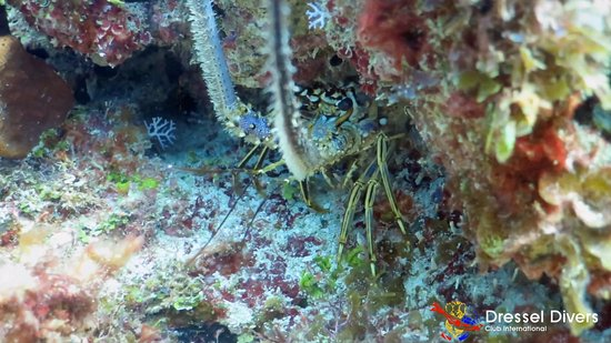 Dressel Divers: spin lobster
