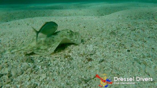 Dressel Divers: Stingray