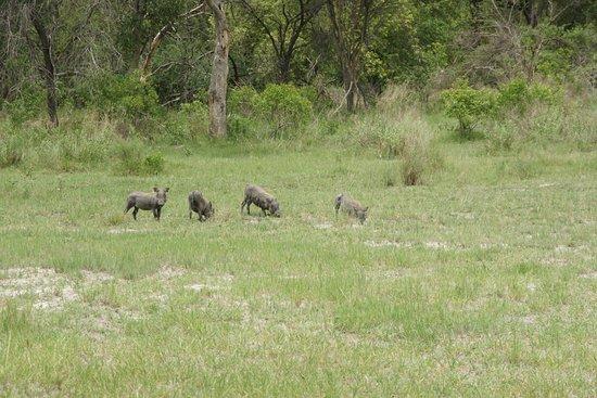 Caprivi Region, Namibia: warthog's te over