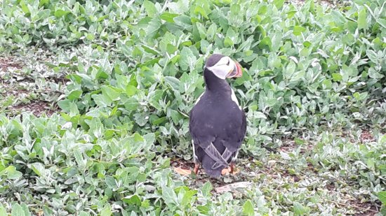 Farne Islands : puffin