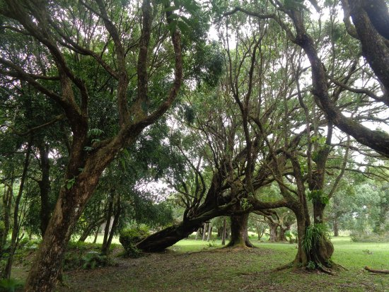 Curepipe : Massive trees.