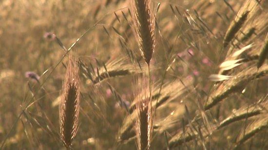 Agriturismo Leone: Campi di grano al tramonto: da qui arriva il pane che serviamo in tavola.
