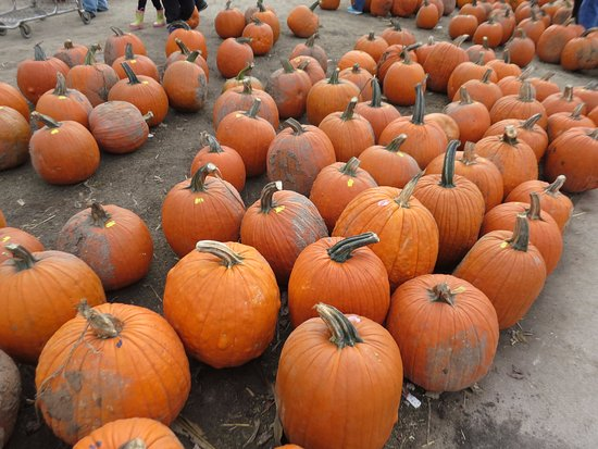 Hampshire, IL: Pumpkins to pick from