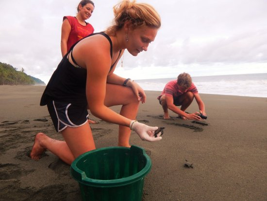 Puerto Jimenez, Costa Rica: Release baby sea turtles on the beach