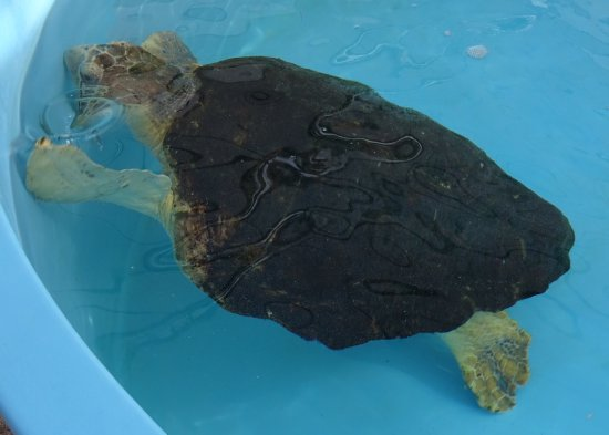 Juno Beach, FL: One of their turtles in it's outdoor recovery tub