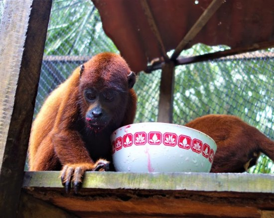Puerto Maldonado, Perù: Baby Howler Monkey who drinks beetroot juice