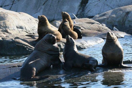 Lund, Канада: Sea lions sunning themselves