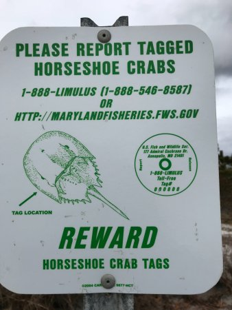 Monomoy National Wildlife Refuge: Be on the lookout for tagged horseshoe crab (alive or expired) for research.