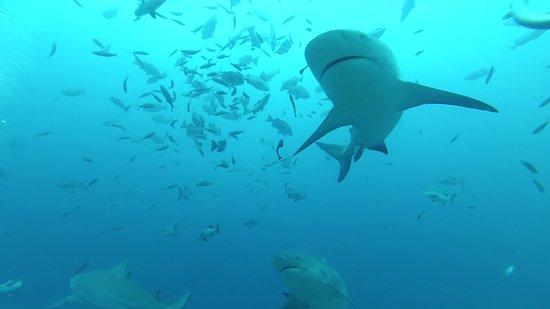 Kuata Island, Fiji: Awaking Shark Dive