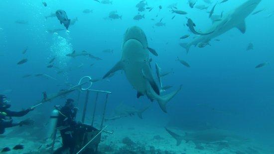 Kuata Island, Fiji: Feeding the Sharks