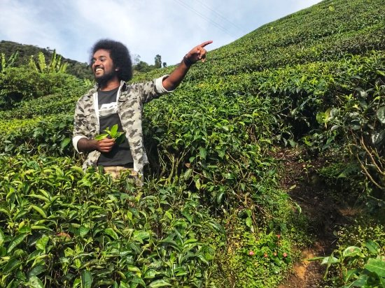 Cameron Secrets: BOH plantation, explaining the harvesting process